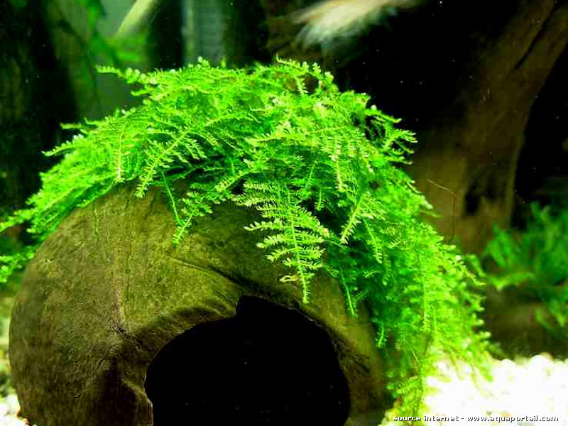 The Aquatic Plant Society Vesicularia Montagnei Christmas Moss