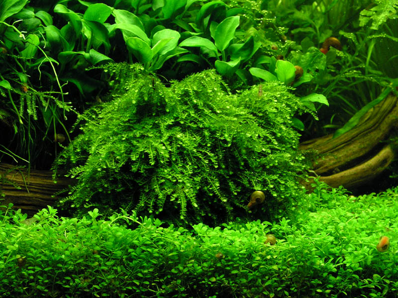 The Aquatic Plant Society Vesicularia Ferriei Weeping Moss