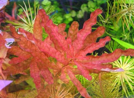 the aquatic plant society � ludwigia inclinata