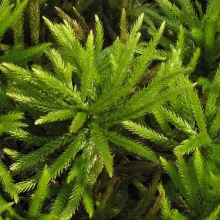Climacium americanum