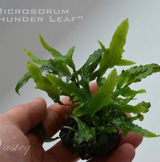 Microsorum pteropus var thors hammer