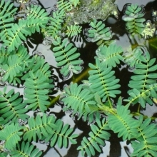 Aeschynomene fluitans (Giant sensitive fern)