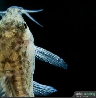 Aspidora pauciradiatus