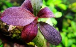 Bucephalandra sp. Brownie