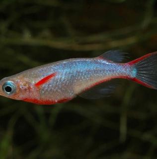 Oryzias woworae – Daisy's rice fish