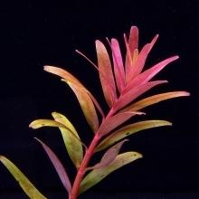Rotala sp. Colorata