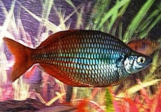 Melanotaenia pygmaea (pygmy rainbowfish)