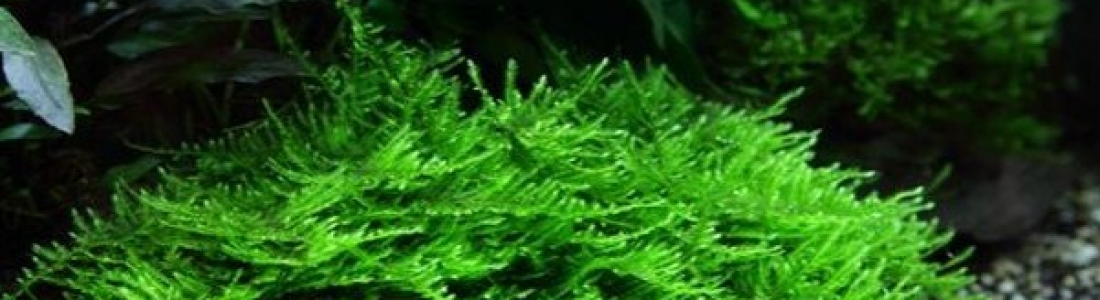 Taxiphyllum sp. Spiky