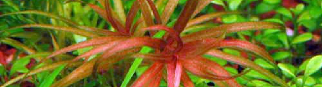 Blyxa Japonica var. Alternifolia