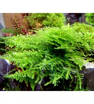 "Vesicularia sp. ""Triangle"" – Triangle moss"