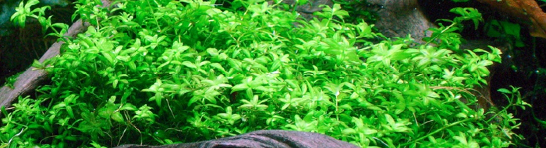 how to grow baby tears aquarium plant