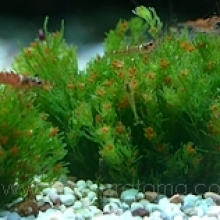 Chara SP Fragilis (Red cherry water plant)​