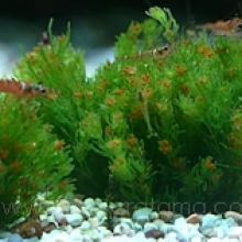Chara SP Fragilis (Red cherry water plant)